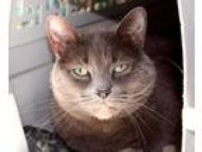 Adopt Monkey a Gray or Blue Russian Blue / Domestic Shorthair / Mixed cat in