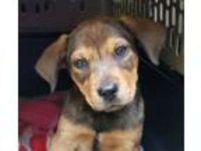 Adopt Apple a Shepherd, Hound