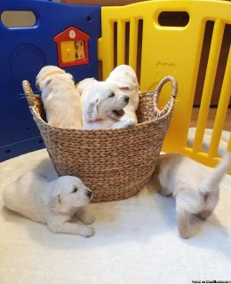 AKC Golden retriever puppy for sale