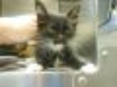 Andy Domestic Short Hair Cat