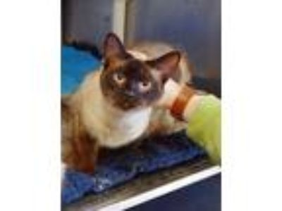 Adopt Dusty a Siamese / Mixed (short coat) cat in Ladysmith, WI (25348821)