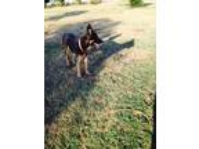 Adopt Brandi a German Shepherd Dog