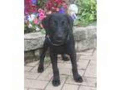 Adopt Deltra a Labrador Retriever, Golden Retriever