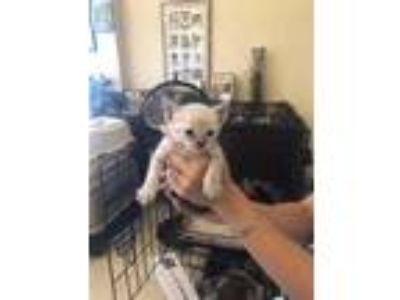 Adopt Babe a Cream or Ivory Siamese / Domestic Shorthair / Mixed cat in St.
