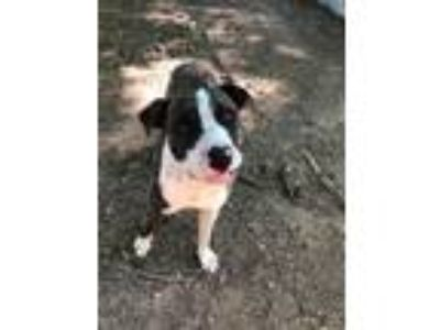 Adopt Joey a Brindle - with White Boxer / Mixed dog in Lebanon, ME (25788718)