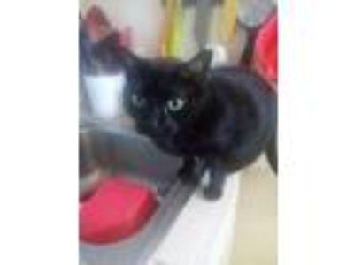Adopt Shazam a All Black American Shorthair cat in New Orleans, LA (25259558)