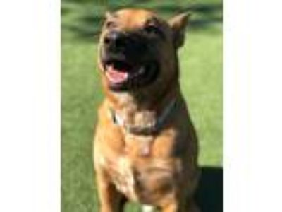 Adopt Clifford a Red/Golden/Orange/Chestnut German Shepherd Dog / Cattle Dog /