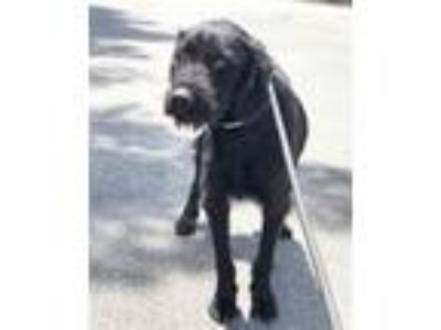 Adopt Dee a Black German Wirehaired Pointer / Mixed dog in Los Angeles