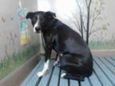 Adopt MISTER a Black - with White American Pit Bull Terrier / Mixed dog in