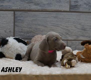 Weimaraner PUPPY FOR SALE ADN-90284 - Weimaraner AKC puppies champion pedigree