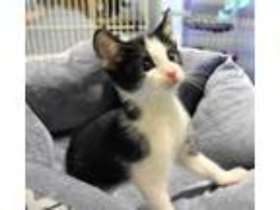 Adopt Kitten D a White Domestic Shorthair / Domestic Shorthair / Mixed cat in
