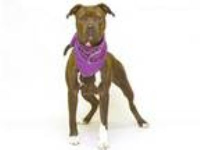 Adopt PAPRIKA a Brindle - with White Boxer / Mixed dog in Sanford, FL (25204236)