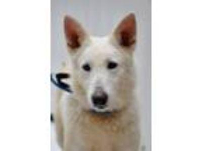 Adopt Cessna a German Shepherd Dog
