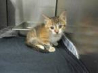 Adopt Flor a Orange or Red Domestic Shorthair / Domestic Shorthair / Mixed cat