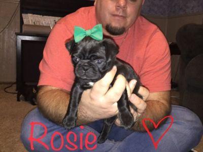 Pug PUPPY FOR SALE ADN-108158 - Last One Christmas Pug Puppy