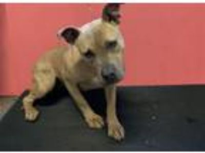 Adopt FAWNA a Pit Bull Terrier, Mixed Breed