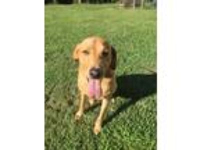 Adopt Thunder a Tan/Yellow/Fawn Labrador Retriever / Mixed dog in Lowndesville