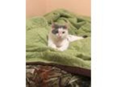 Adopt MarshMellow Deserves a Chance a White (Mostly) American Shorthair (short