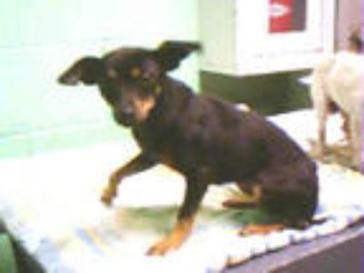 Adopt DAISY a Black - with Tan, Yellow or Fawn Miniature Pinscher / Mixed dog in