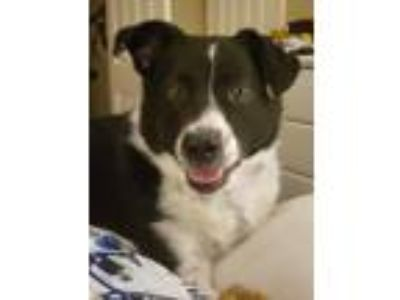 Adopt Desmond a Black - with White Border Collie / Australian Shepherd / Mixed