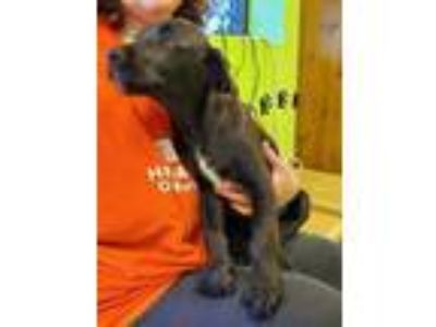 Adopt Romeo a Black Mountain Cur / Labrador Retriever / Mixed dog in Benton