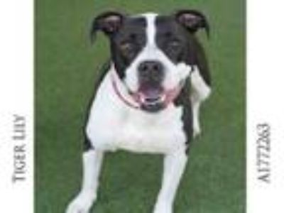 Adopt TIGER LILY a American Staffordshire Terrier