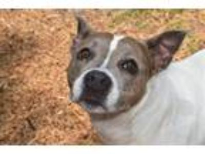 Adopt CHINA a Pit Bull Terrier, Mixed Breed