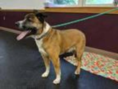 Adopt Xander a Brown/Chocolate Shepherd (Unknown Type) / Mixed dog in Glenville