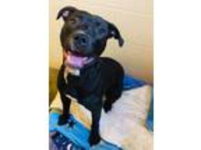 Adopt Tank a Pit Bull Terrier / Mixed dog in Mankato, MN (24968169)