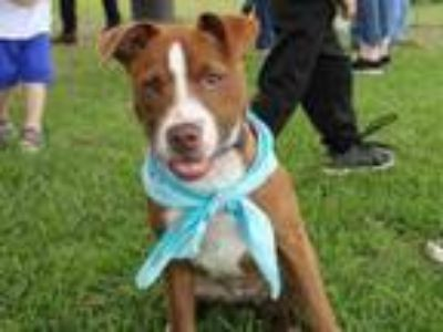 Adopt Strawberry a Pit Bull Terrier, Husky