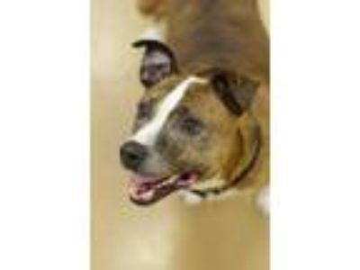 Adopt Cupcake a Brindle American Pit Bull Terrier / Mixed dog in Cleveland