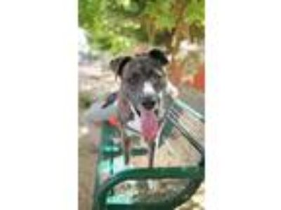 Adopt Cyrus a American Pit Bull Terrier / Plott Hound / Mixed dog in