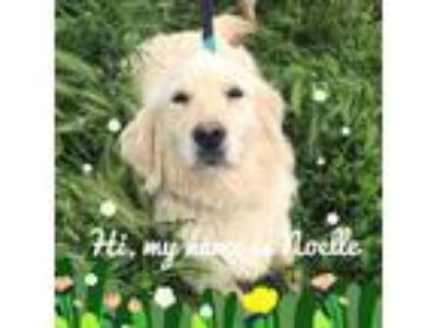 Adopt Noelle a White Golden Retriever / Mixed dog in Arlington, MA (25326444)