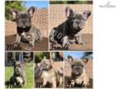 Blue French Bulldog Males