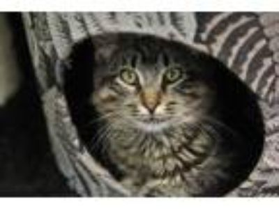 Adopt Moxie a Brown Tabby Domestic Longhair / Mixed cat in Independence