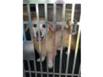 Adopt 41696437 a Tan/Yellow/Fawn Corgi / Mixed dog in Land O'Lakes