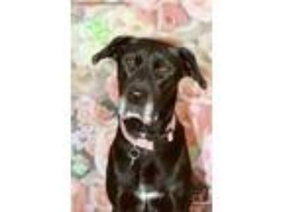 Adopt Dana a Black Labrador Retriever dog in Washington, DC (23818830)
