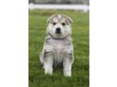 Adopt Violet a White - with Tan, Yellow or Fawn German Shepherd Dog / Husky /