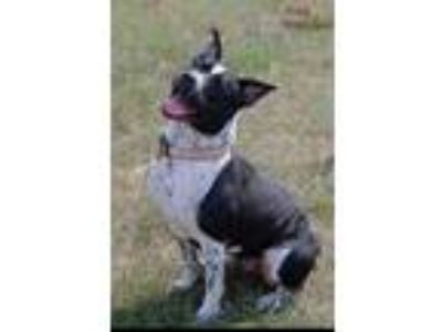 Adopt CC a Black - with White American Staffordshire Terrier / Mixed dog in