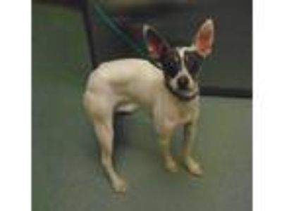 Adopt Coco a Rat Terrier / Mixed dog in Raleigh, NC (25344706)