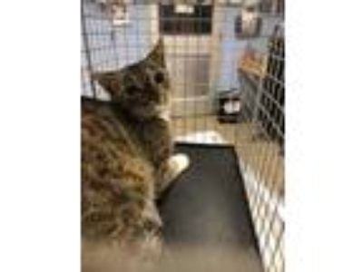 Adopt 2316 Wayside Dr a Brown or Chocolate Domestic Shorthair / Domestic