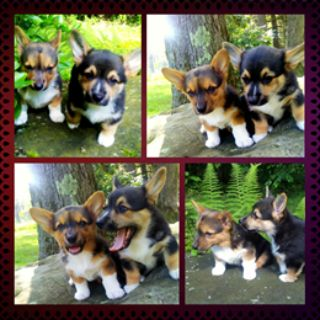 Pembroke Welsh Corgi PUPPY FOR SALE ADN-88691 - 2 Pembroke Welsh Corgi Puppies