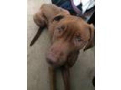 Adopt Boodah a Brown/Chocolate - with White Labrador Retriever / Retriever