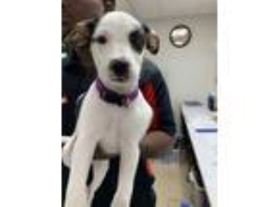 Adopt 41924226 a White Jack Russell Terrier / Mixed dog in Fort Worth