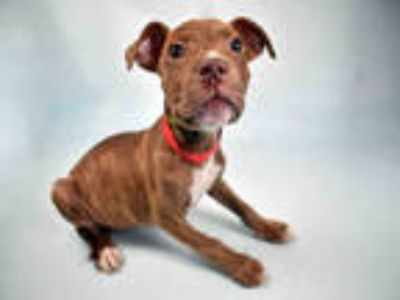 Adopt WILMA a Brindle Mixed Breed (Medium) / Mixed dog in Ft Lauderdale