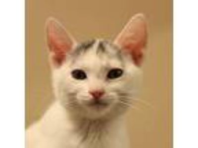 Adopt Lacey a White Domestic Shorthair (short coat) cat in Walnut Creek