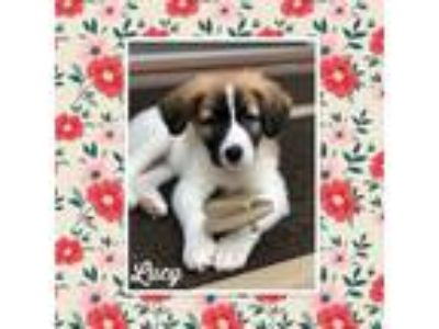 Adopt Lucy a Great Pyrenees