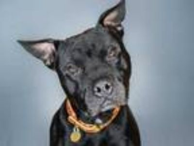 Adopt THOR a Black American Pit Bull Terrier / Mixed dog in Denver