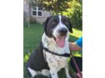 Adopt Vincent a Border Collie / Labrador Retriever / Mixed dog in Sheboygan