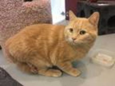 Adopt Buck a Orange or Red Domestic Shorthair / Domestic Shorthair / Mixed cat